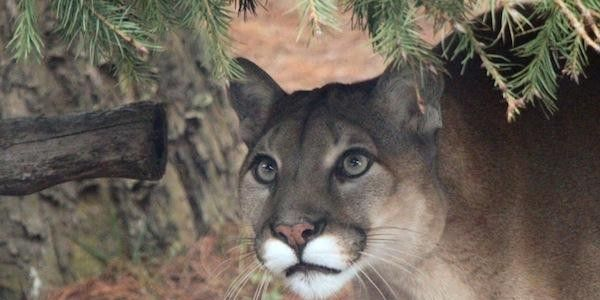 Tell Florida Power & Light: Help Save the Florida Panther!