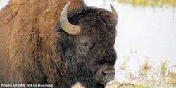 Stop the Needless Slaughter of Yellowstone Bison!