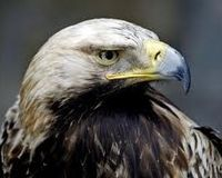 save the Spanish Imperial Eagle (Aquila adalberti)