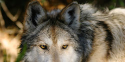 Tell US Fish and Wildlife Service: Release Mexican wolves into New Mexico before it's too late