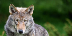 Keep Wolves Listed as Endangered Species