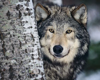 Michigan: Keep Wolves Protected!