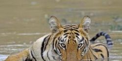 Save the Bengal Tigers in the Sundarbans