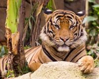 List Indochinese Tiger as Critically Endangered