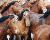 No Horse Slaughter Plant in Oklahoma