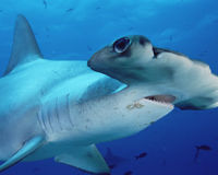 Support A Bill To Ban Trade In Shark Fins