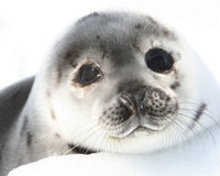 Boycott Canadian Seafood to Save Seals
