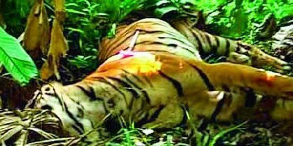 India Stop Tiger Mortality with Stricter Laws & Punishment of Abuse Offenders