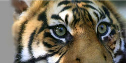 Prison for Wildlife Guard who Killed Tiger