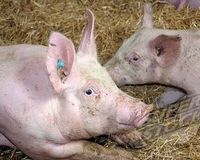 IOWA:PIG FARM VICTORY!!Update 7/10/8/11 ANIMAL CRUELTY REVEALED AT SELECT PIG FARMS