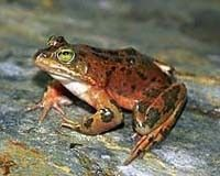 Save The Oregon Spotted Frog!
