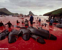 Only a fraction of the dolphins killed. The hunters show no remorse.