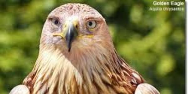 Save Bald and Golden Eagles