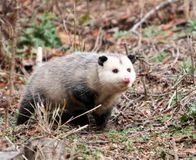 Victory: N.C. 'Opossum Drop' Ruled Unlawful