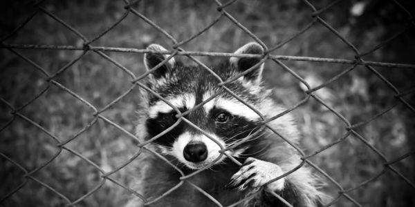 Raccoon, Care2