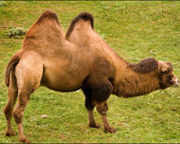SAVE BACTRIAN CAMEL