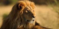 List the African Lion as an Endangered Species!