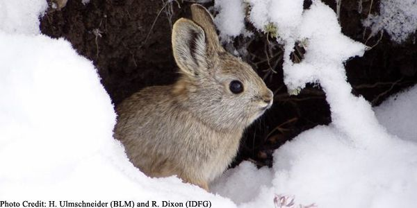 Don't Let Climate Change Endanger the Pygmy Rabbit
