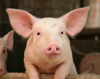 Save 500,000 Pigs from Slaughter in Chile!