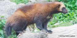 Tell Secretary Jewell to Protect Wolverines!