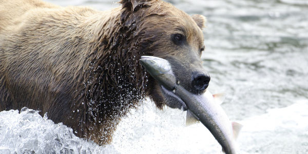 Stop the Strip Mining of the World's Biggest Wild Salmon Habitat