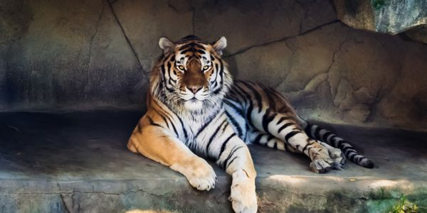 Tiger living in captivity