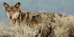 Tell Fish and Wildlife to Protect Wolves!