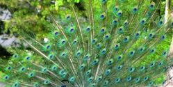 Thank India for Banning the Trade of Peacock Feathers