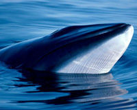 Stop Iceland's Cruel Whale Slaughter