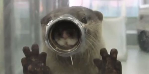 Otter being held captive trying to look through hole