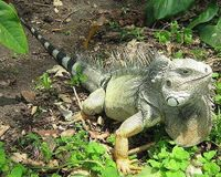 Don't Kill Iguanas- Relocate Them