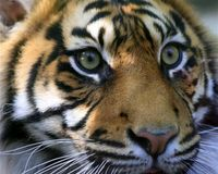 EDGE OF EXTINCTION: SUMATRAN TIGER - PREDICTED EXTINCT BY 2015 - LOSS OF HABITAT/ SEE PALM OIL