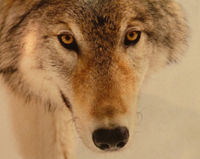 Stop Killing Wolves in Yakutia!(Russia)