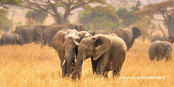 African elephants, Care2