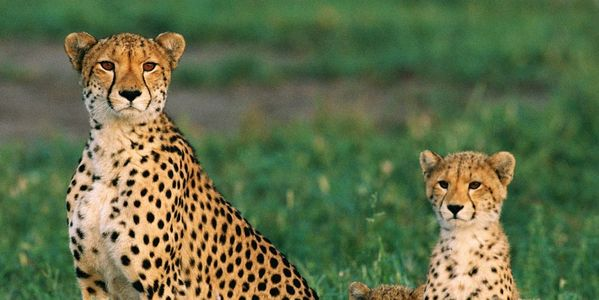 Please Stop Allowing Cheetahs to be Hunted