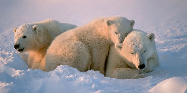 Protect the Polar Bear Seas!
