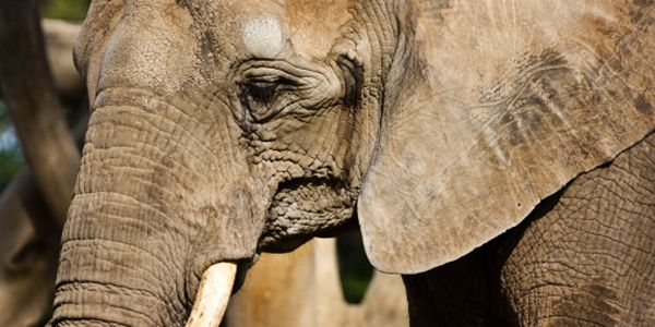 Woodland Park Zoo: Honor Watoto's Life, Send Bamboo and Chai to a Sanctuary
