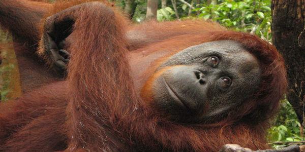 Save Orangutan Habitats!