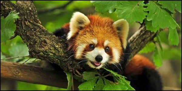 Ban Hunting of Red Panda in China