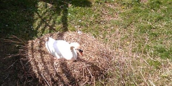 Severe punishment for killing nesting Swan