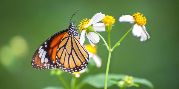 Save Monarch Butterflies by Protecting Their Habitat