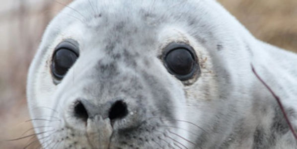 Don't Kill New England's Gray Seals!