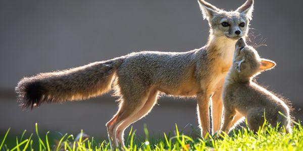 San joaquin fox