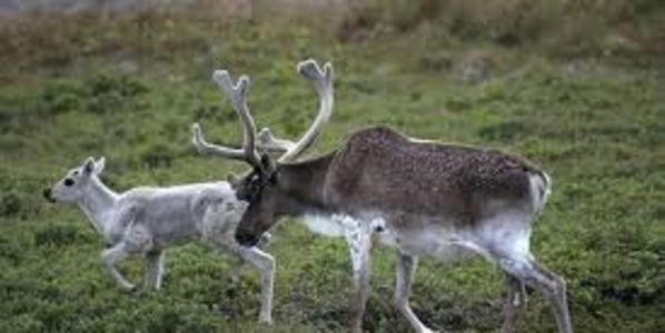 WE SHOULD LEARN FROM SCANDINAVIA HOW TO TAKE CARE ABOUT CARIBOUS!