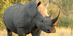Save Africa's Last Remaining Rhinos!