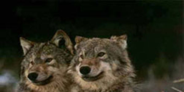 Tell the US Forest Service to Stop the State of Idaho from Killing Wolves in Wilderness Areas