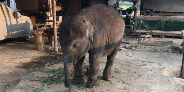 captive baby elephant