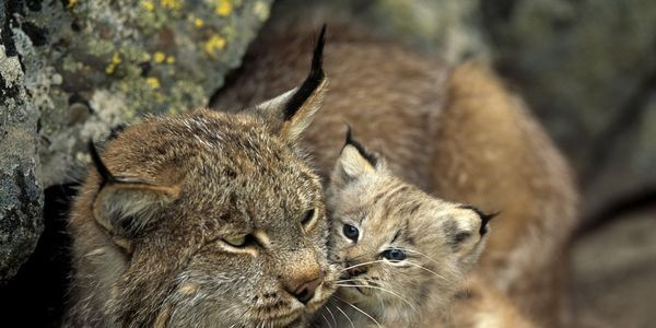 1000 Lynxes Left in U.S.: New Mexico Please Give Them Protection