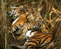 HELP BENGAL TIGERS BEFORE IT IS TOO LATE