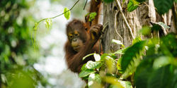 Indonesia: Protect Endangered Orangutans and the Leuser Ecosystem